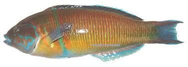 poisson aiguillette ou orphi
