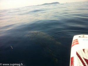 Une tortue à la rencontre d'un SUP